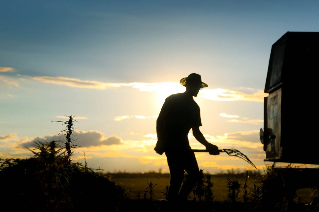 Farmer in cannabis field in front of sunset
